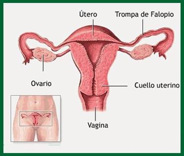 , Aparato Genital Femenino
