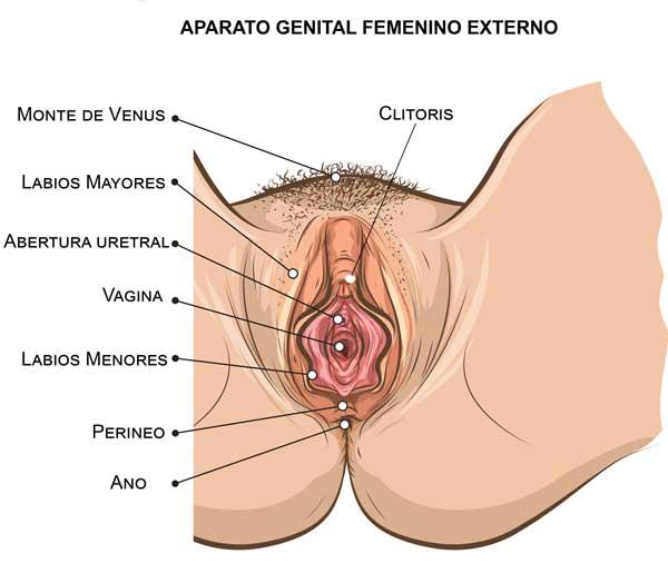 Aparato genital exterior Femenino