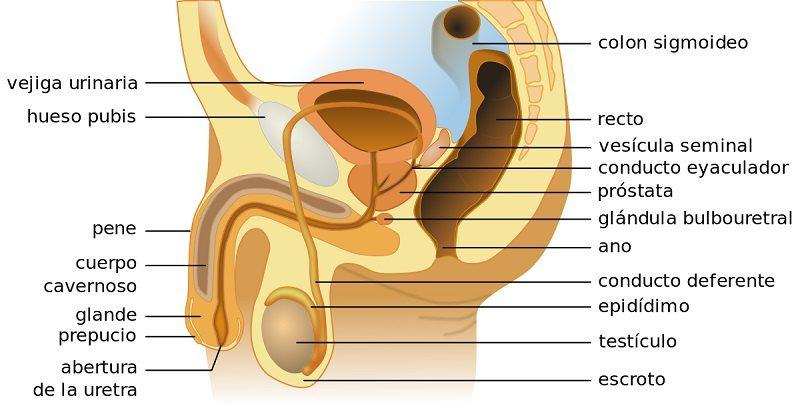 Esterilización masculina, Esterilización masculina: Vasectomía